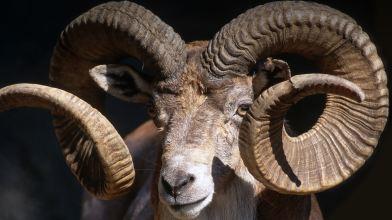 animals_hero_goats_sheep_0
