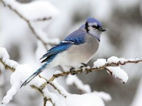 blue_jay_bird_in_the_snow-normal